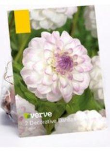 Eveline Dahlia Flower bulb