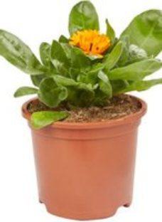 Calendula Mixed Spring Bedding plant  13cm Pot  Pack of 4