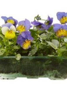 9 cell Viola Mixed Spring Bedding plant  Pack of 4