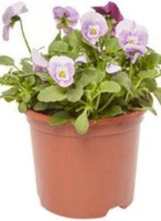 Viola Delicious Spring Bedding plant  13cm Pot  Pack of 4