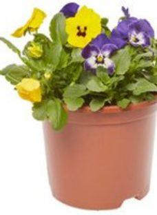 Viola Refreshing Spring Bedding plant  13cm Pot  Pack of 4