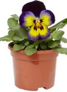 Pansy Yellow purple wing Spring Bedding plant  10.5cm Pot  Pack of 6