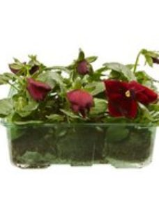 9 cell Pansy Red with blotch Spring Bedding plant  Pack of 4
