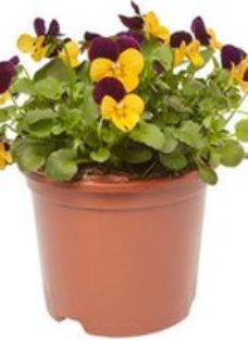 Viola Orange jump up Spring Bedding plant  13cm Pot  Pack of 4