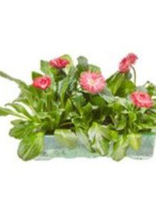 6 cell Bellis Mixed Spring Bedding plant